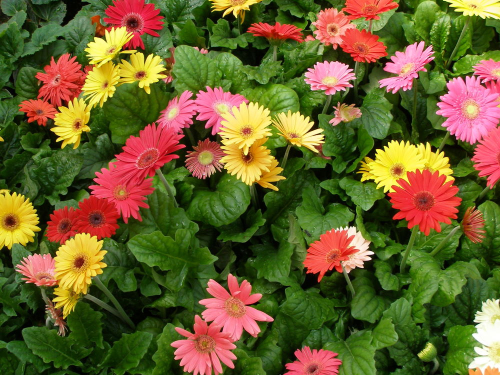 gerbera flower  flowers world, Natural flower