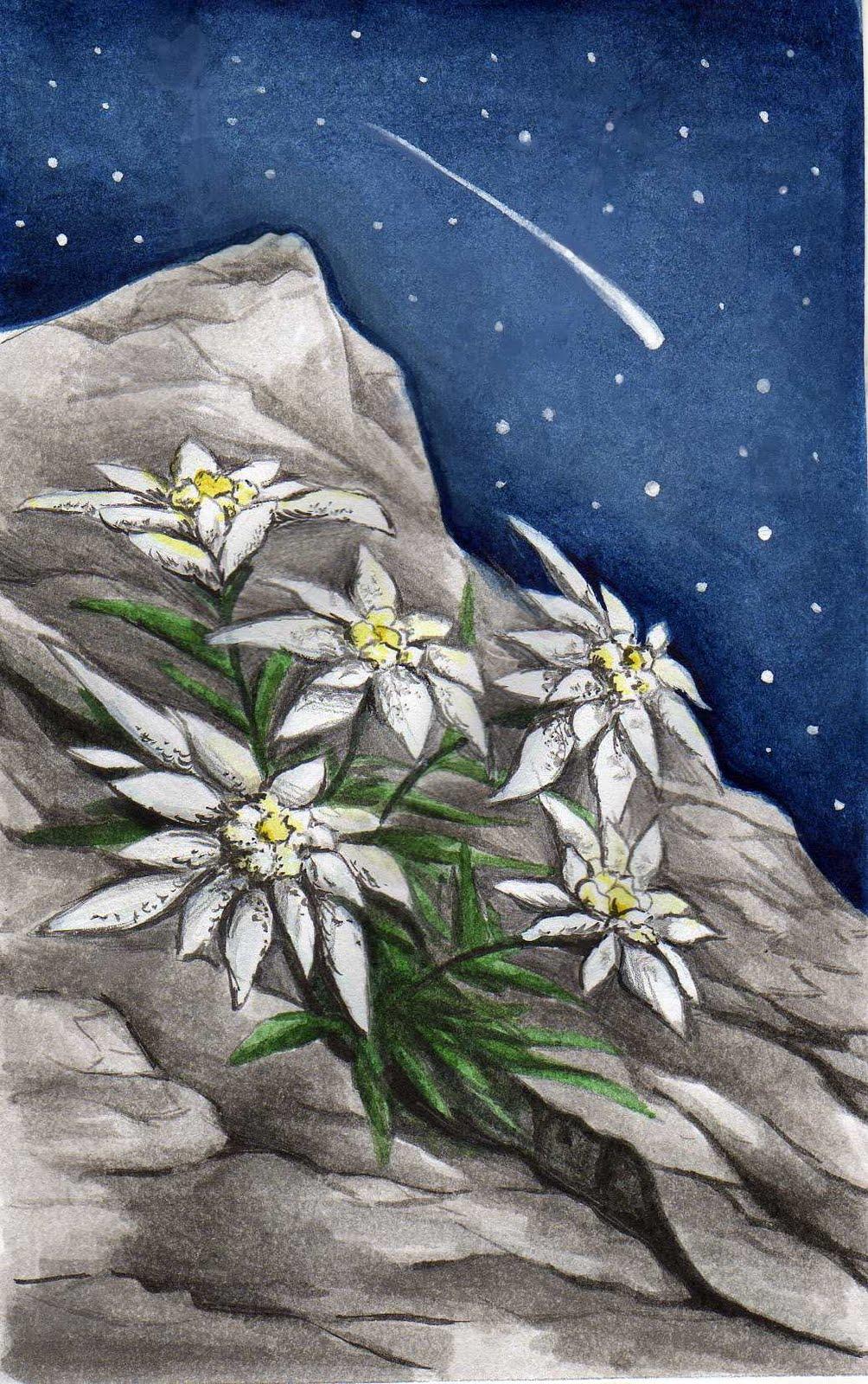 Favoloso La voce del Disegno: Illustrazione con stelle alpine OH27