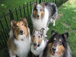 Rough Collie pictures