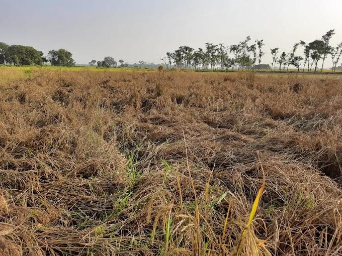 कीटों के प्रकोप से धान का फसल काला। 70% फसल बर्बाद
