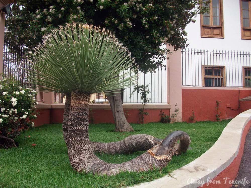 dragon tree, Tenerife