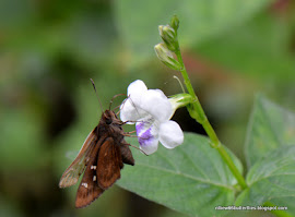 Chinese Violet (Asystasia gangetica) All year esp Sept-Oct