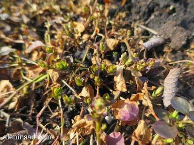 Lysimachia nummularia, вербейник, монетчатый, весна, веcной, ростки, черенки, аленин сад, aleninsad