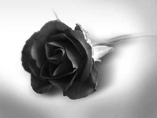 black roses wallpaper rose wallpapers