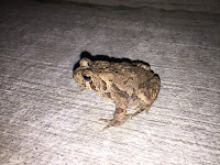 juvenille american toad