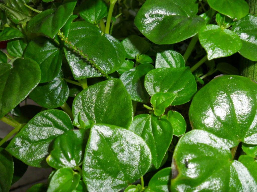 Jual pohon bayam batu (peperomia) | aneka tanaman | suplier tanaman
