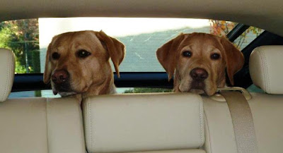 2 yellow Labs in the back seat