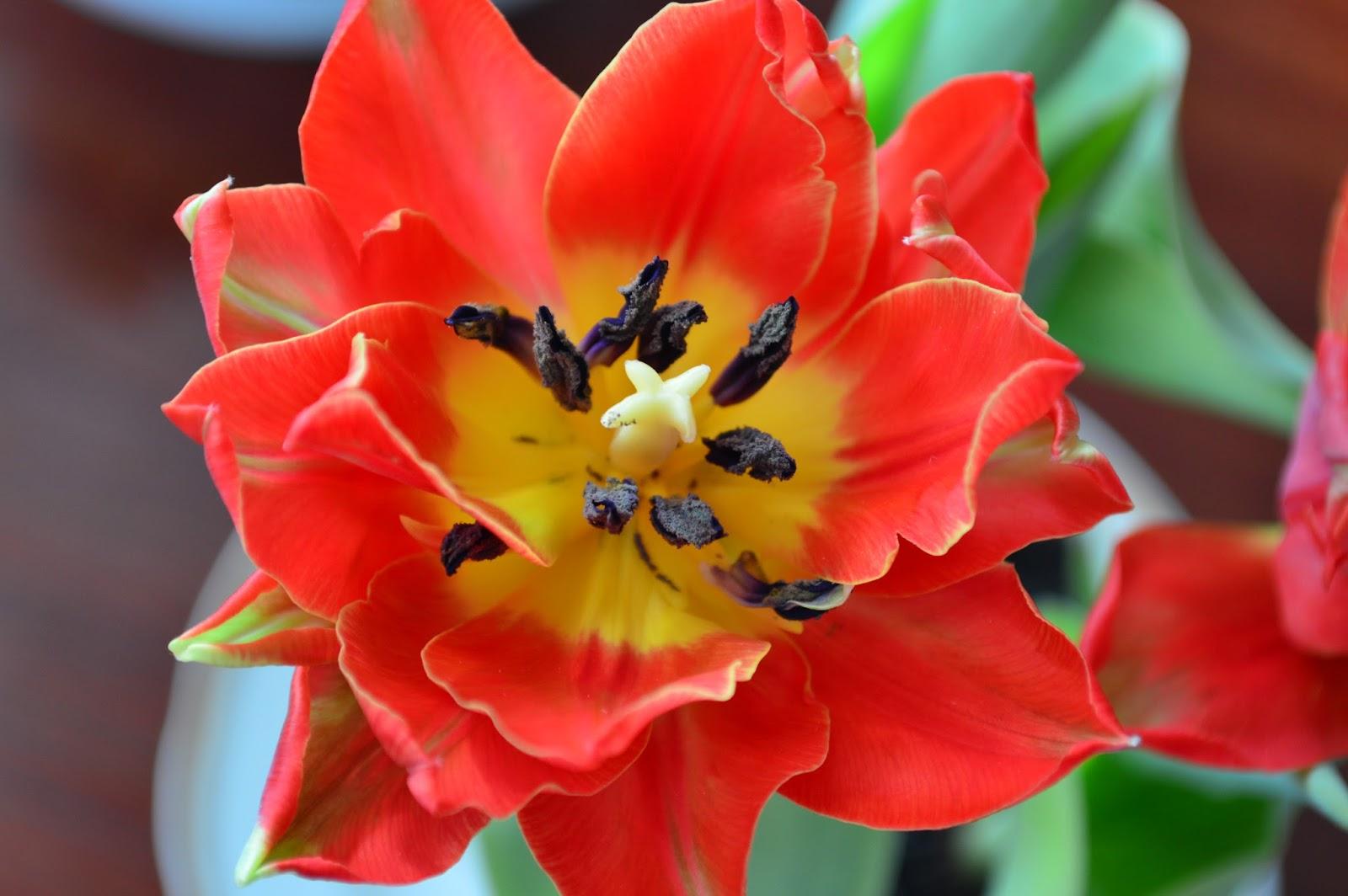 тюльпаны, красивые тюльпаны. цветы, цветочки, фото тюльпаны, киев