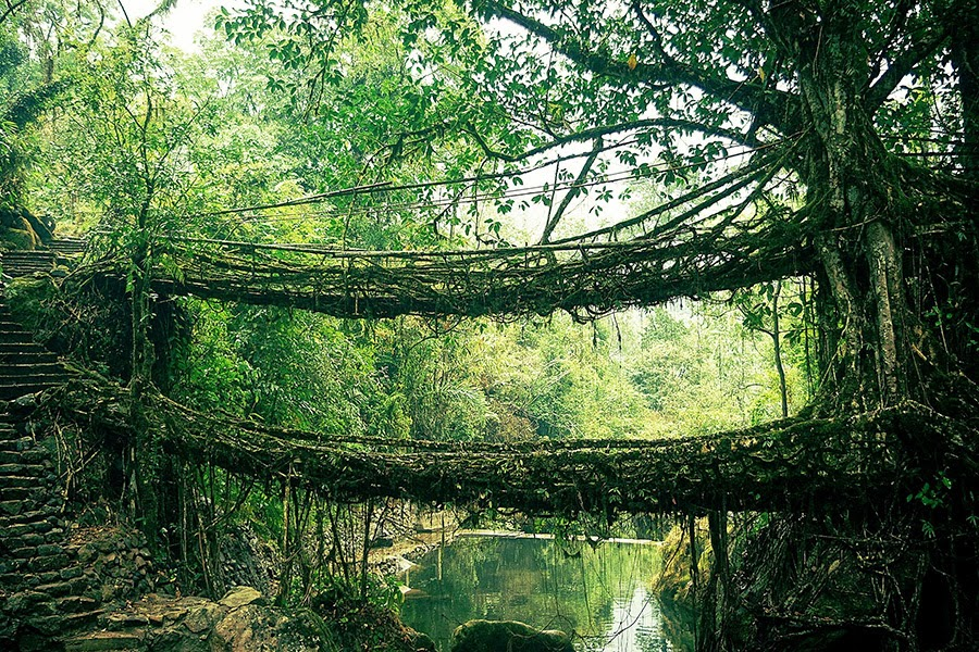 The bridge from the live roots, India