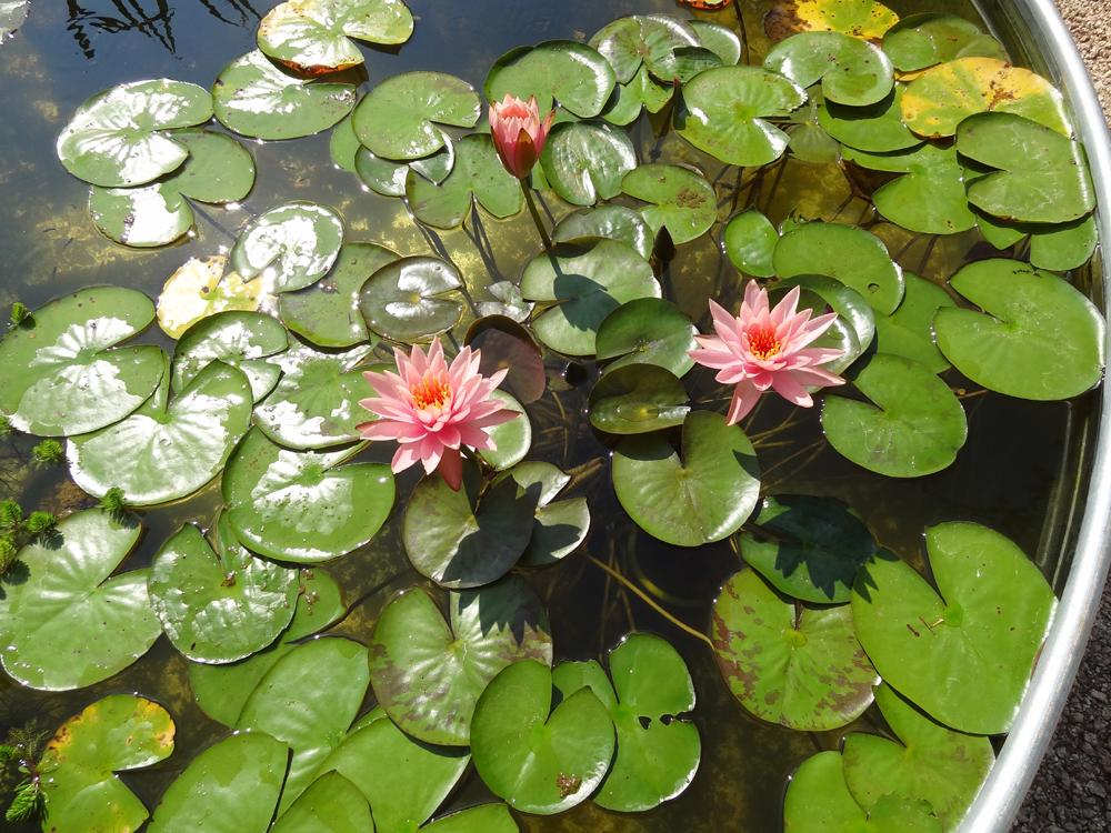 Выращивание водных лилий 24