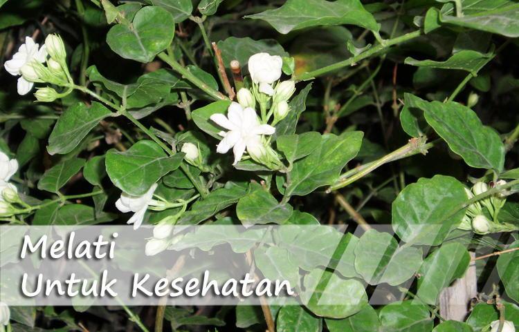 Khasiat Bunga Melati Sebagai Herbal Untuk Kesehatan