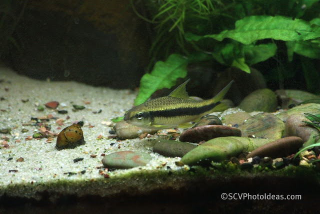 Siamese Algae Eater aka SAE (Crossocheilus siamensis)
