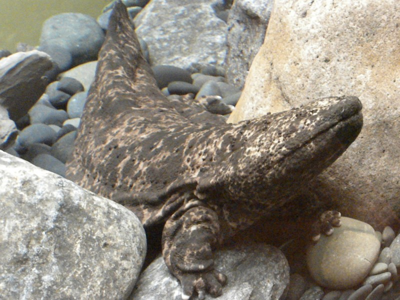 ... : Species Fact Profile: Japanese Giant Salamander (Andrias japonicus