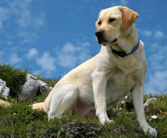 Most Popular Dog Breeds In The World Labrador Retriever