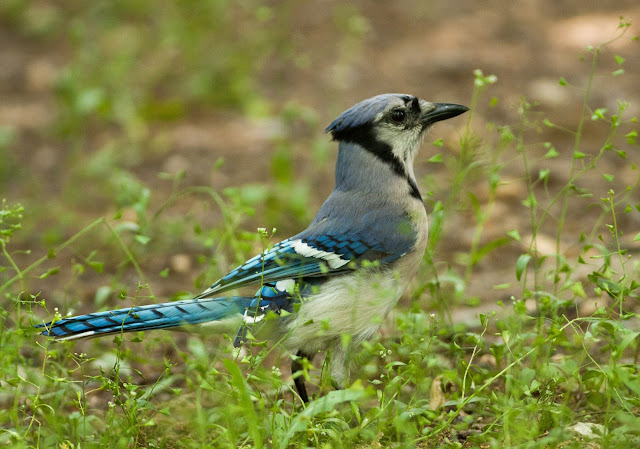 Blue Jay - Inwood Hill Park, New York