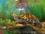 Червоновуха черепаха