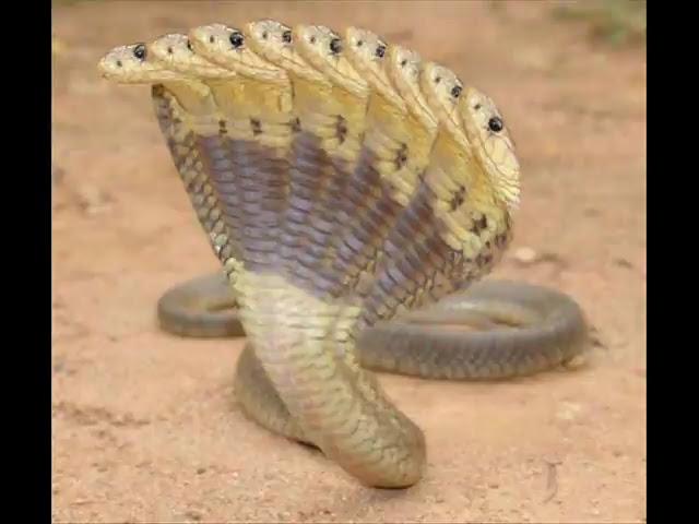 Best Jungle Life: Cobra Ten Headed Pics/Cobra Ten Headed ...