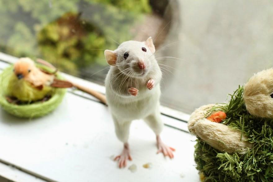 rato a janela