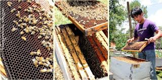 peluang-usaha-beternak-lebah-madu-menguntungkan