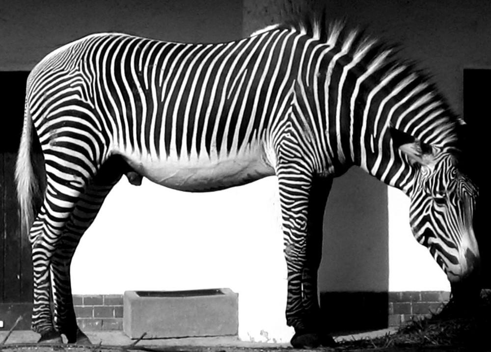Animali e fotografie animali in bianco e nero for Foto alta definizione bianco e nero