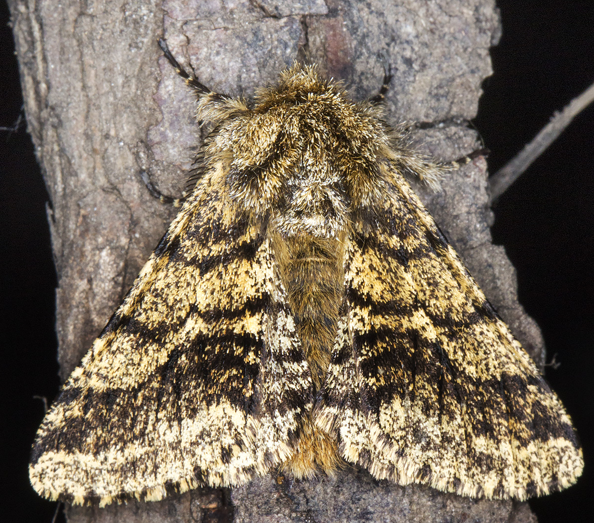 Brindled Beauty, Lycia hirtaria.  In the West Wickham Common light trap on 15 April 2015.