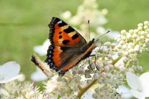 Šluotelinė hortenzija