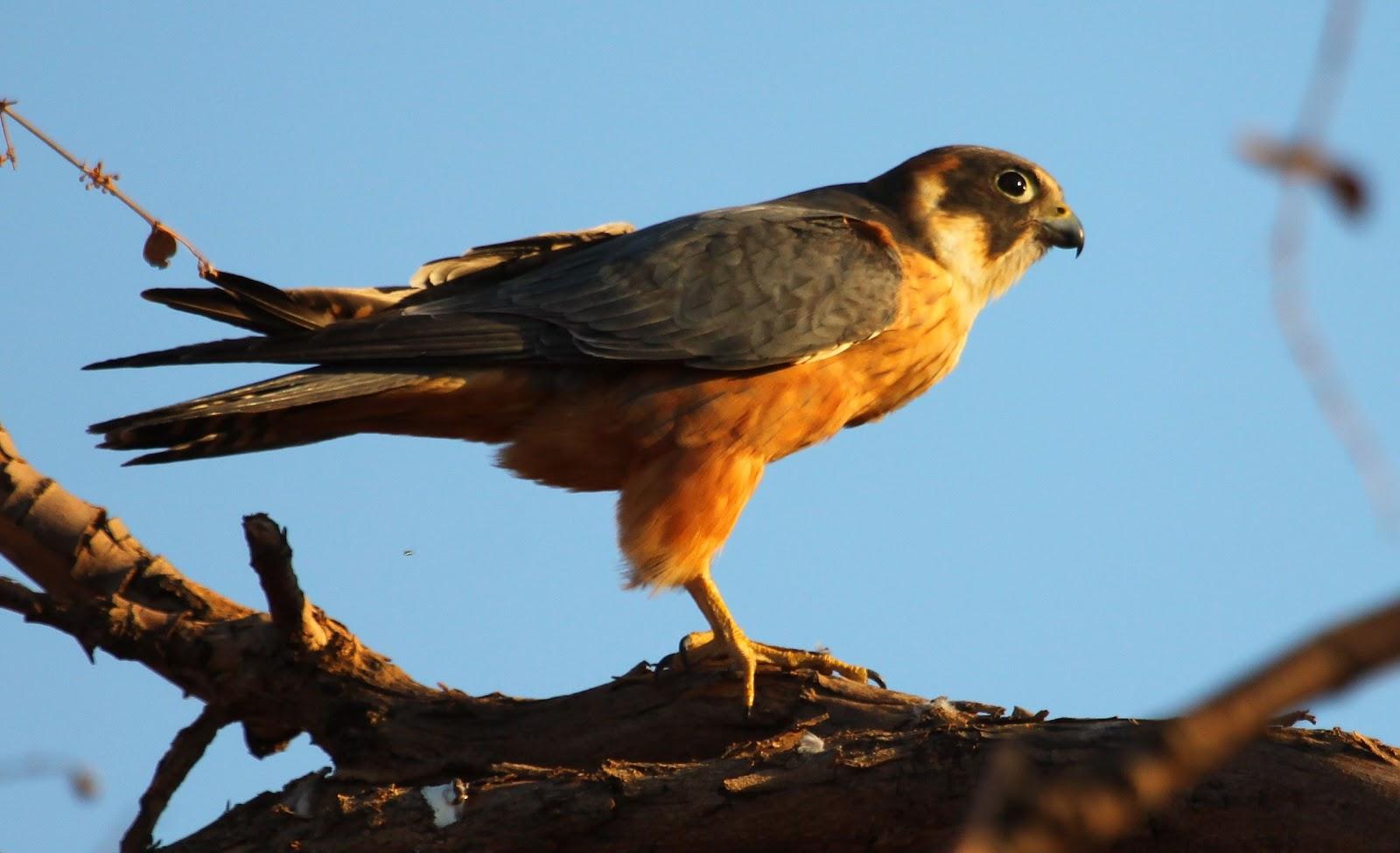 Australian miner bird photos Birds Archive - Canberra Birds