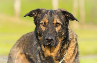Inuki, deutscher Schäferhund - Riesenschnauzer Mix