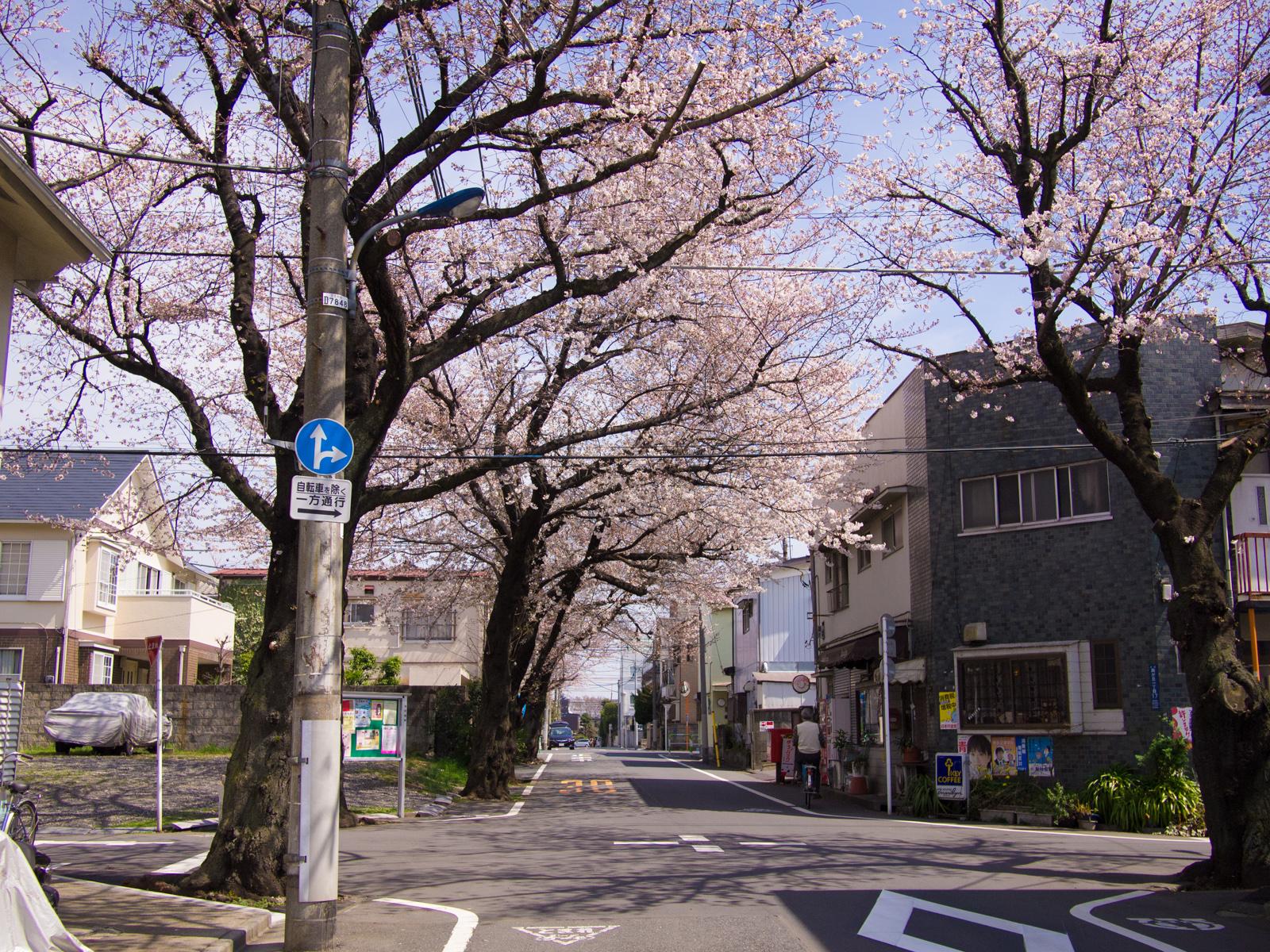 東京都北区西が丘住宅街の桜