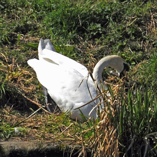 mute swan in nesting behaviour
