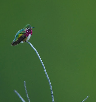 Hummingbird_world's_smallest_bird