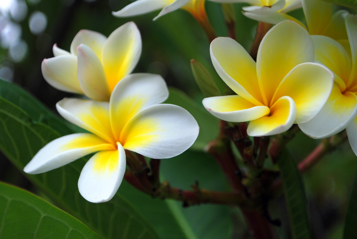 description tahiti tropical flower -#main