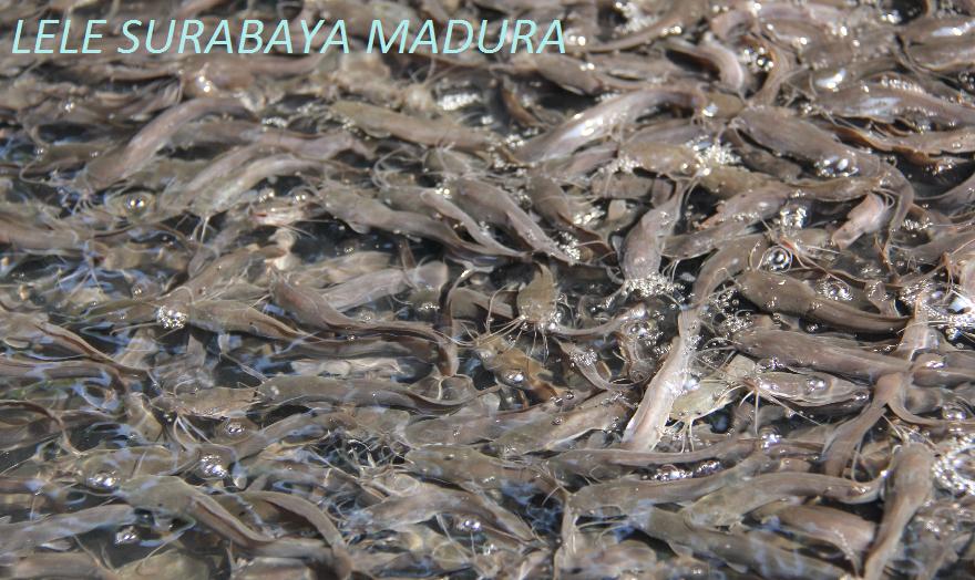 LELE SURABAYA MADURA