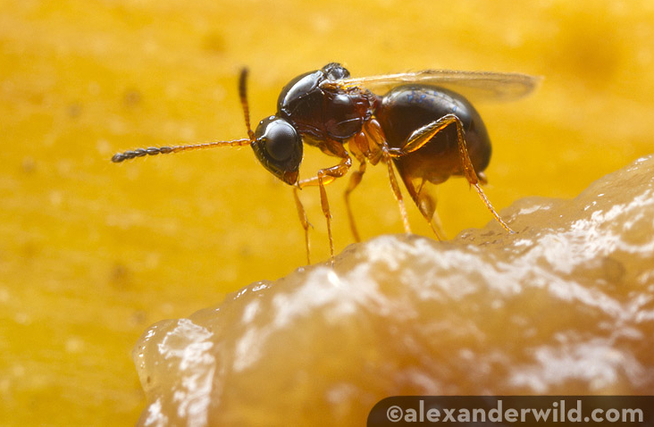 eScienceCommons: Fruit flies force their young to drink ...