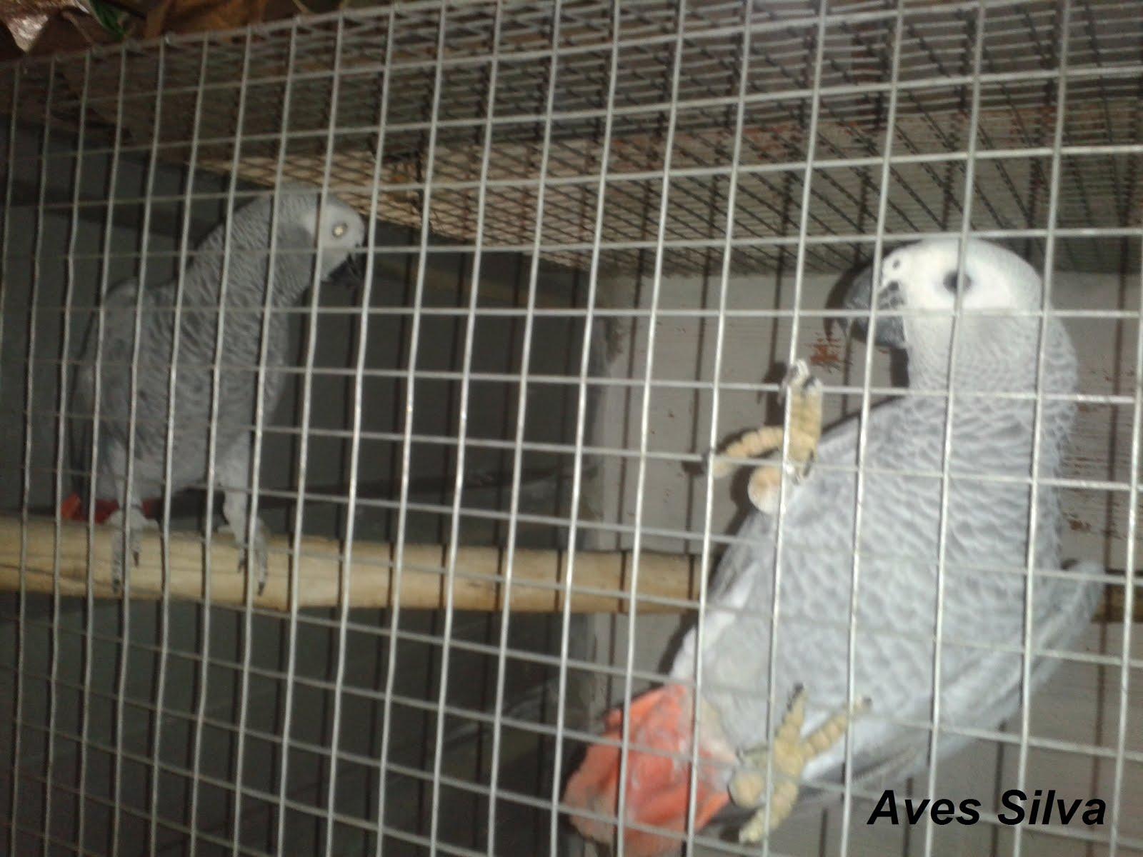 3ª Casal de Papagaios Cinzentos
