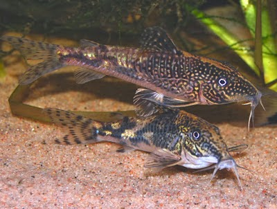 Aquarium Fish Of The Month - Bearded Catfish