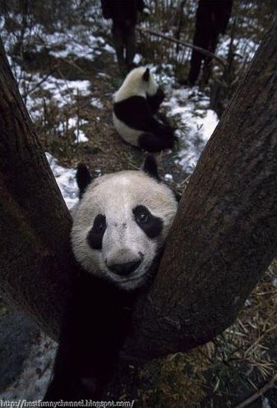 Panda and tree.