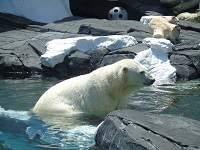 Mahkluk hidup mampu beradaptasi dengan lingkungan - Beruang kutub