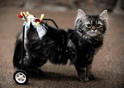 kucing yang menggunakan sepasang roda sebagai pengganti kaki belakangnya yang lumpuh