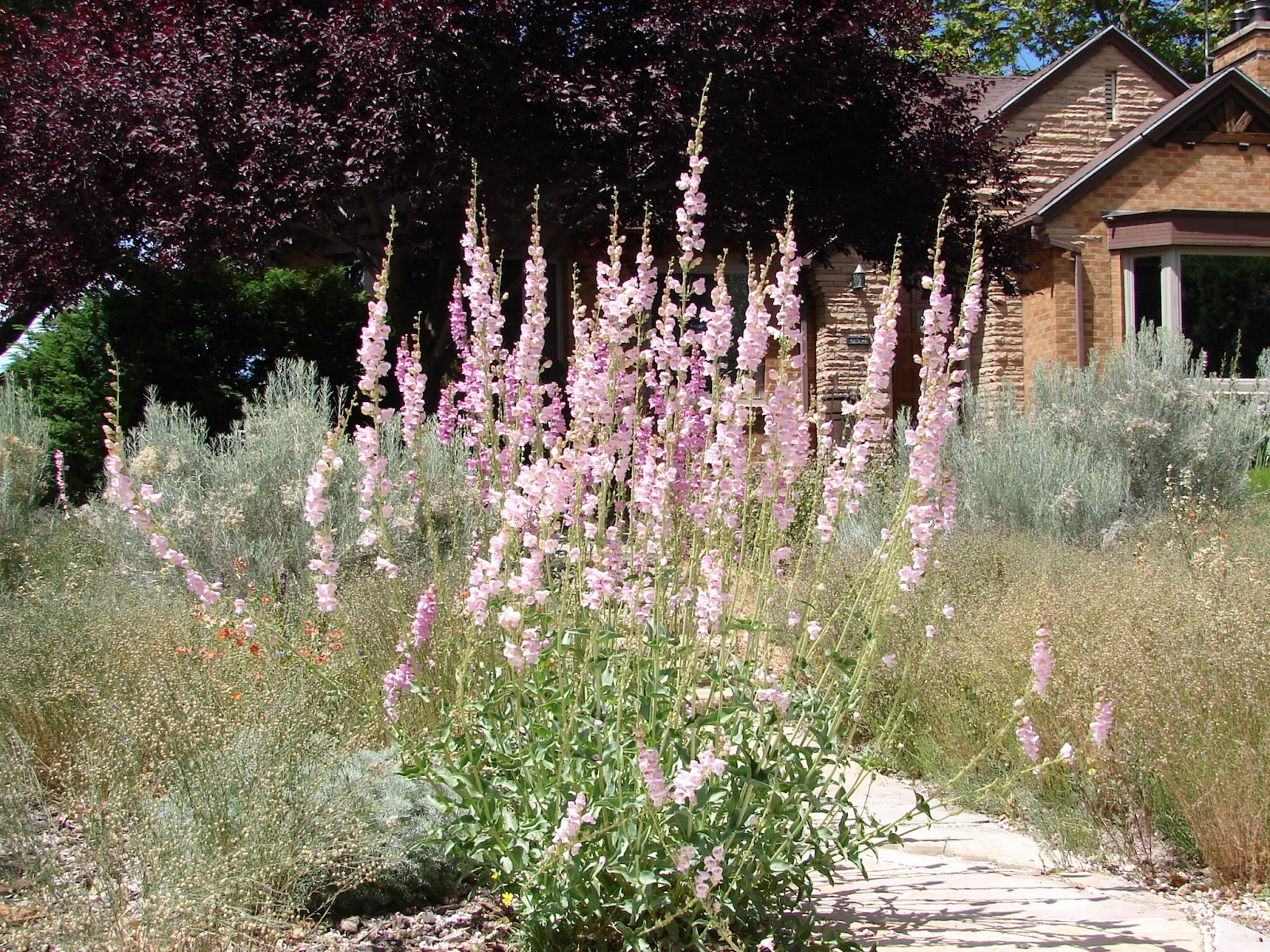 New utah gardener waterwise plants for utah this tall perennial is penstemon palmeri or palmers penstemon it is also a utah native and needs no extra water it grows to be about 5 feet tall mightylinksfo
