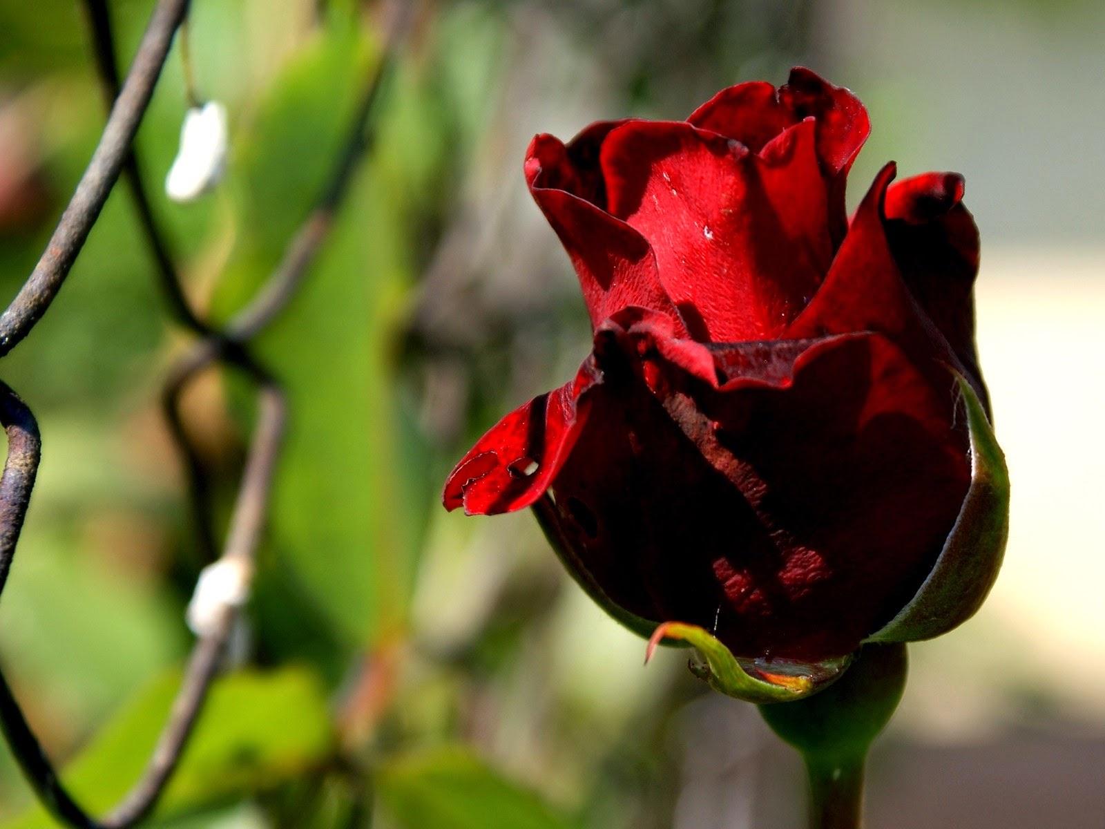 hd hintergrundbilder rote rosen von blumen sch ne rote rosen bilder kostenlos. Black Bedroom Furniture Sets. Home Design Ideas