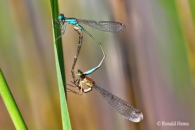 Libellen - Große Pechlibelle bei der Paarung, Paarungsrad, Paarungsherz