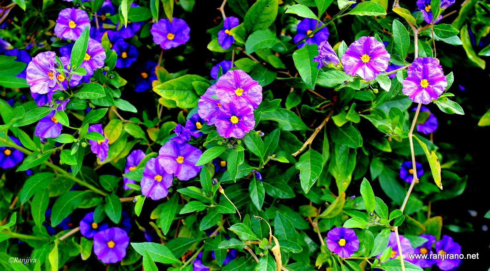 subtiles fleurs mauves et la couleur violet paysages. Black Bedroom Furniture Sets. Home Design Ideas