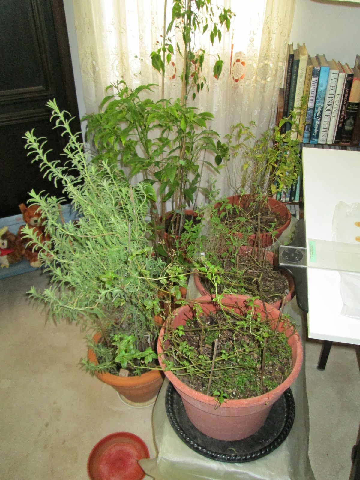 lemon verbena lady u0027s herb garden the indoor winter landscape