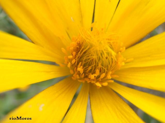 Flor de HIERBA CENTELLA Anemone palmata