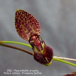Humboldtia arcuata, Stelis arcuata ,Specklinia arcuata, Lepanthes chrysosepala, Pleurothallis rhombopetala, Pleurothallis ocellata.