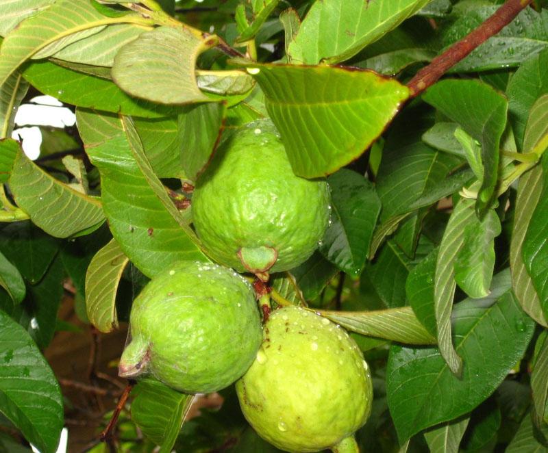 Wallpaper Guava Quot Gift Of Nature Quot