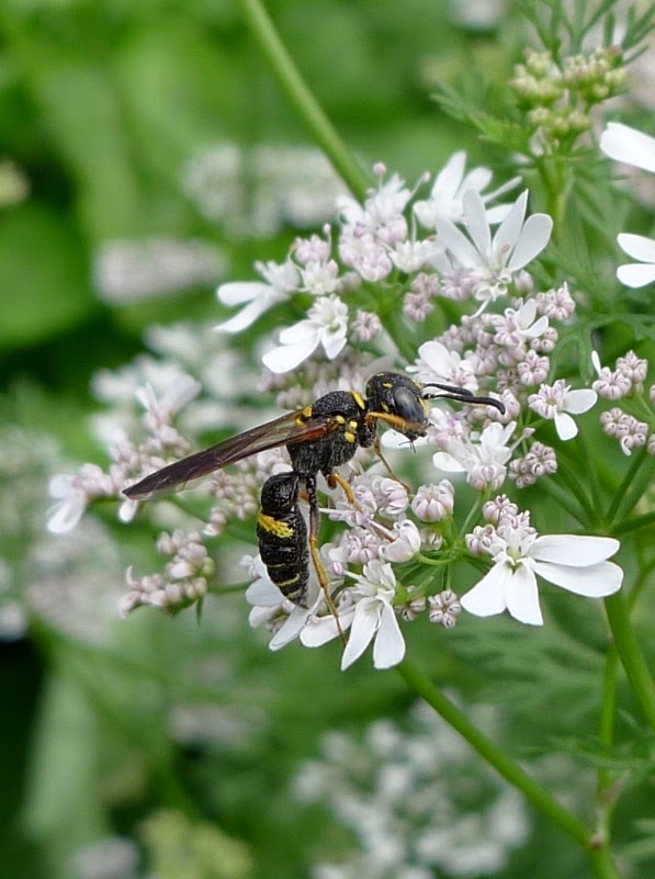 Wasp, pollinators, urban farming