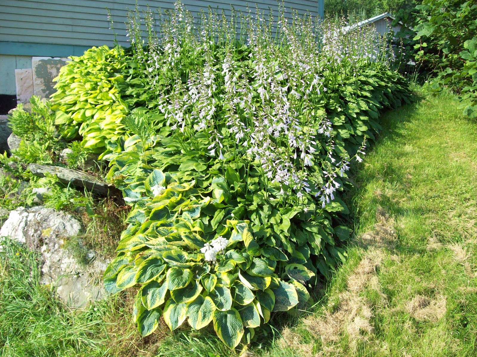 How to plant ground cover on steep bank - Hosta As Groundcover I Planted These Hosta On A Steep Bank At My House About 3 Years Ago Because It Was Hard To Mow I Planted The Hosta About 1 Apart And