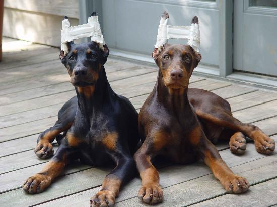 doberman puppies Basics